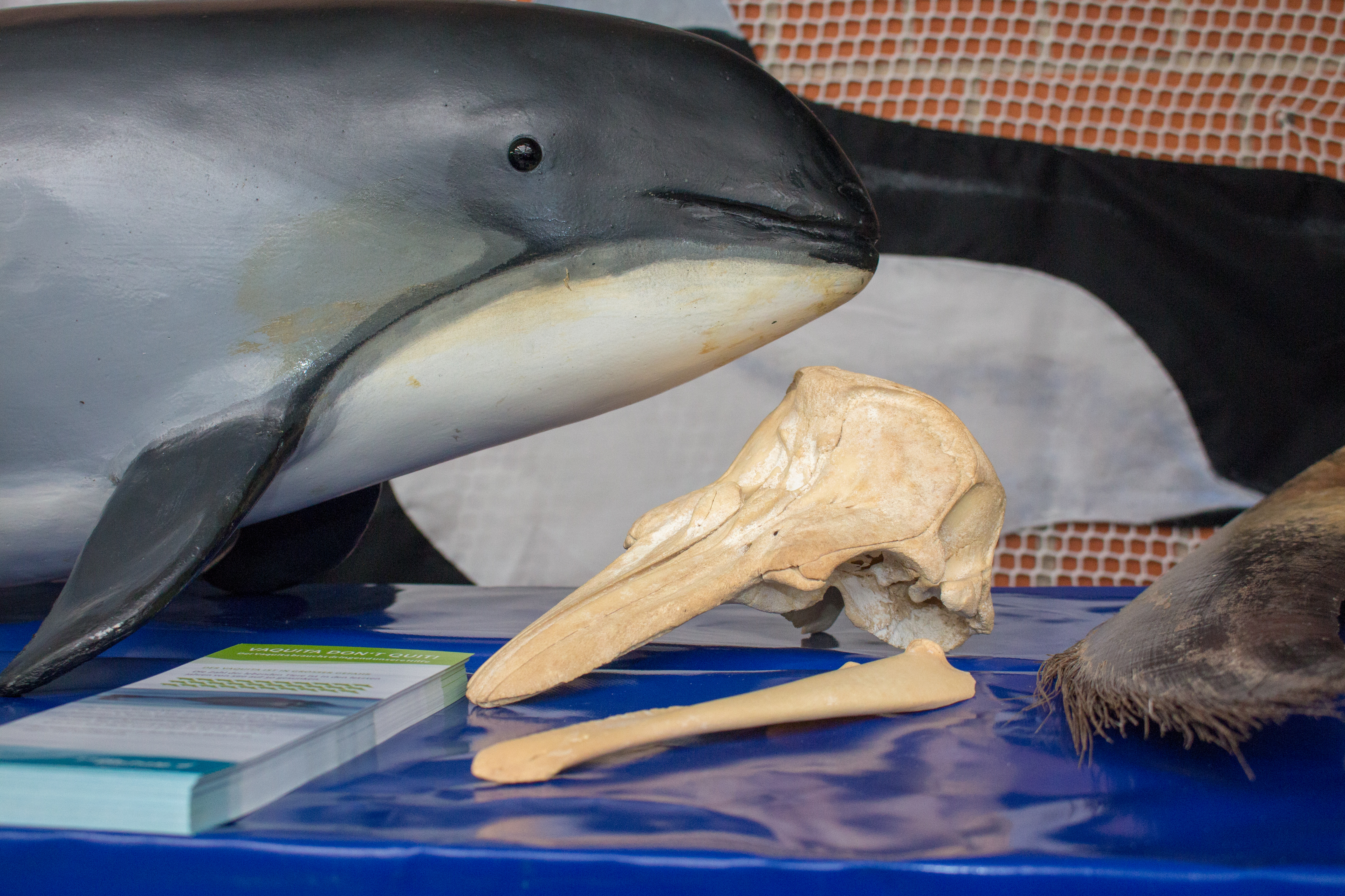 Schweinswalmodell und -schädel